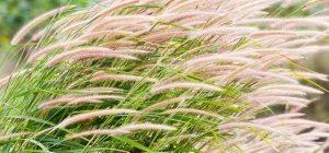 декоративные травы для сада фото и названия