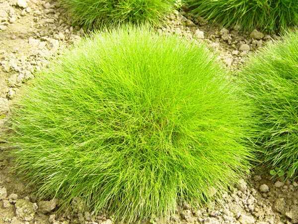 Декоративные травы и злаки для сада фото
