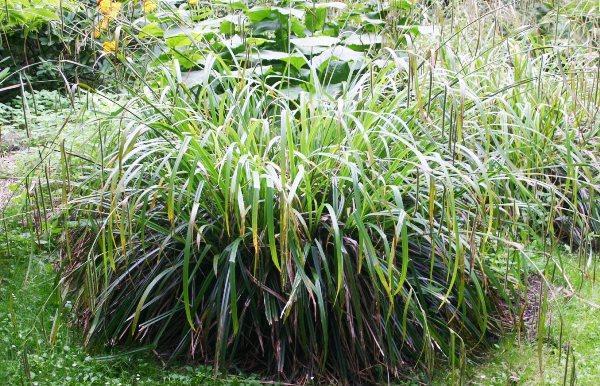 Декоративные травы и злаки для сада фото 11