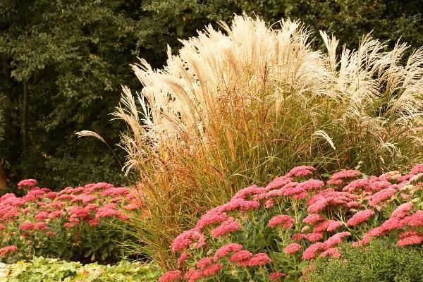 Декоративные злаковые растения фото и названия