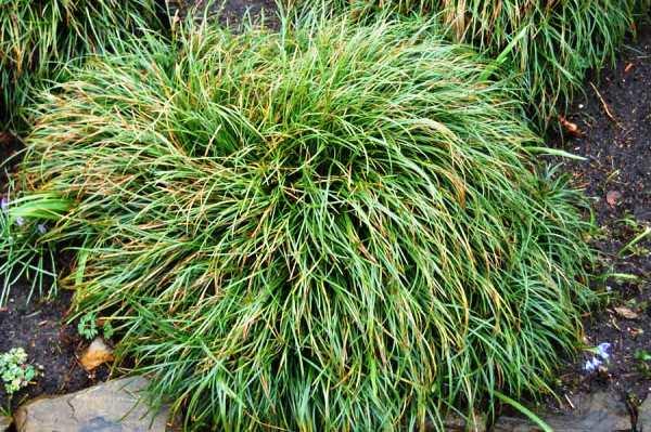 Многолетние травы для сада название и фото