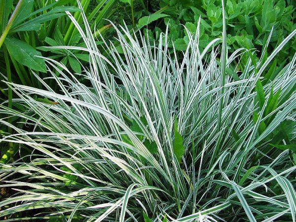 Декоративная трава фото и названия