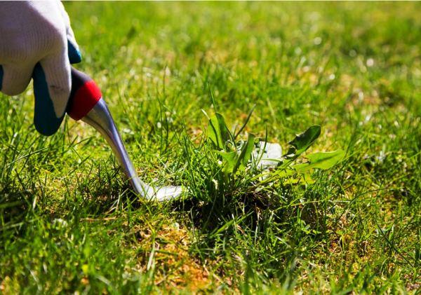газонная трава фото 11