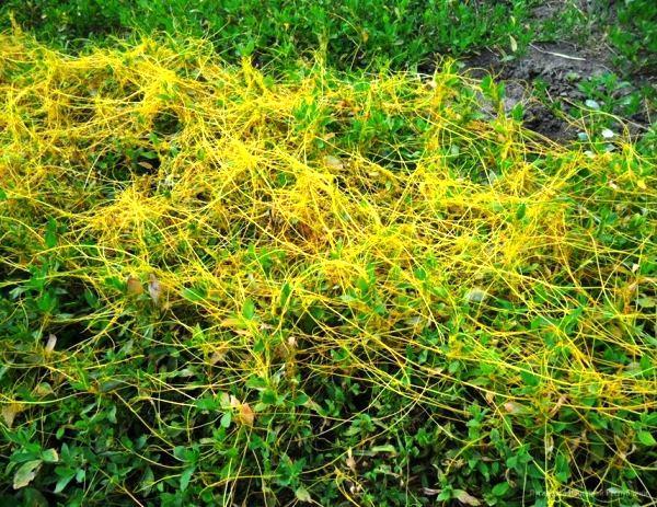 Ползучие сорняки на газоне фото и названия