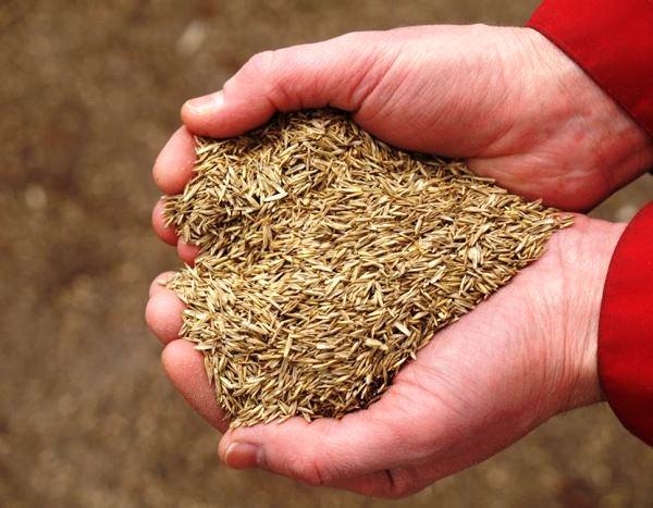 газонная трава фото 5