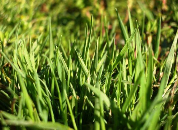 газонная трава фото 7