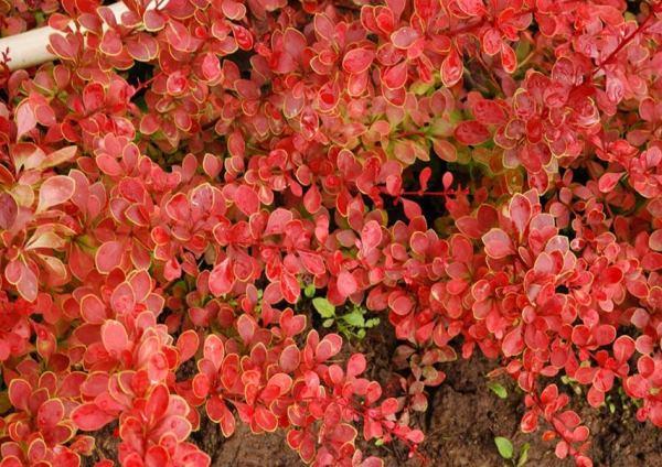 многолетние цветущие кустарники фото 10