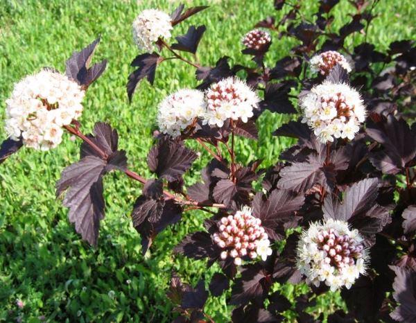 многолетние цветущие кустарники фото 11