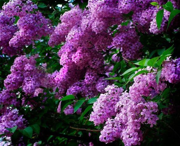 многолетние цветущие кустарники фото 13