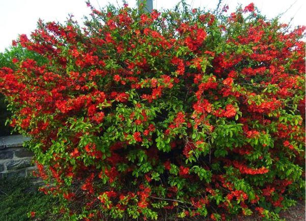 многолетние цветущие кустарники фото 14