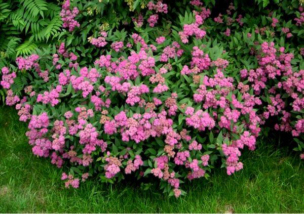 многолетние цветущие кустарники фото 17