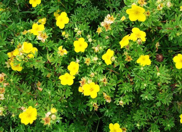 Кусты цветущие все лето фото и названия