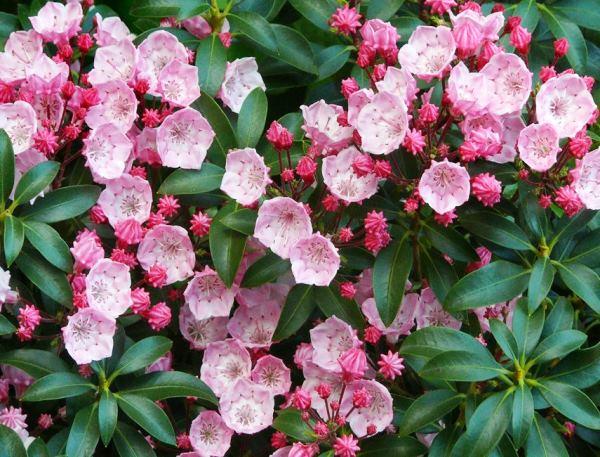 многолетние цветущие кустарники фото 5