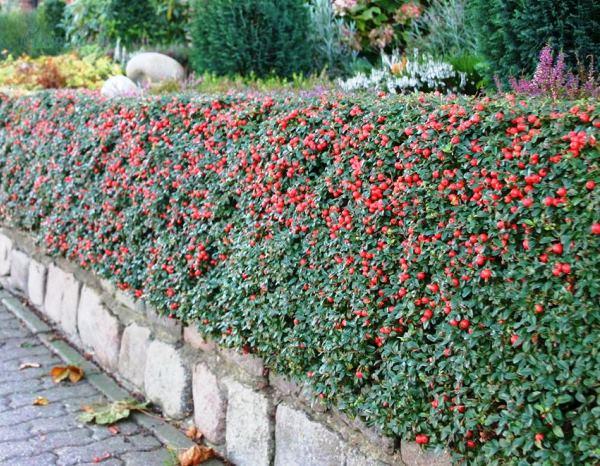 многолетние цветущие кустарники фото 6