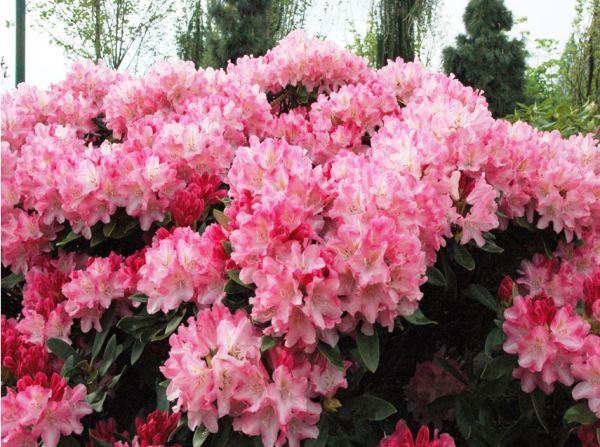 Кустарники цветущие все лето фото и названия