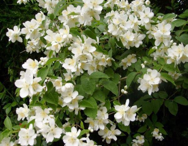 многолетние цветущие кустарники фото 8