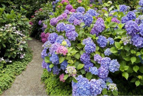 многолетние цветущие кустарники фото