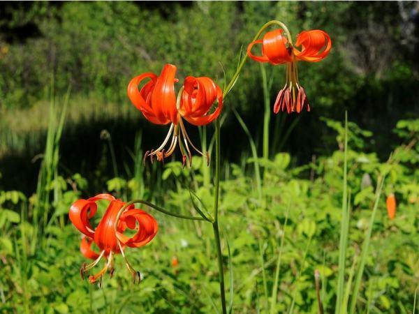 многолетние цветы для урала и сибири фото 10