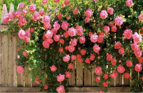 многолетние цветы для урала и сибири фото 14