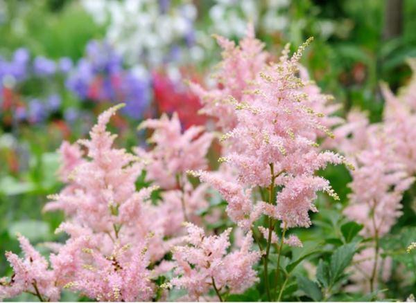 Многолетние цветы для Сибири фото и названия