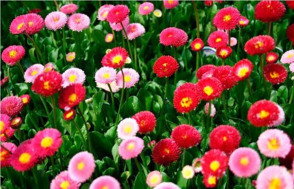многолетние цветы для урала и сибири фото 3