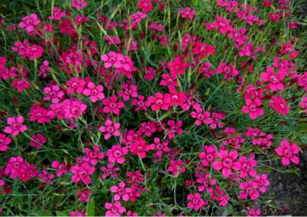 многолетние цветы для урала и сибири фото 6