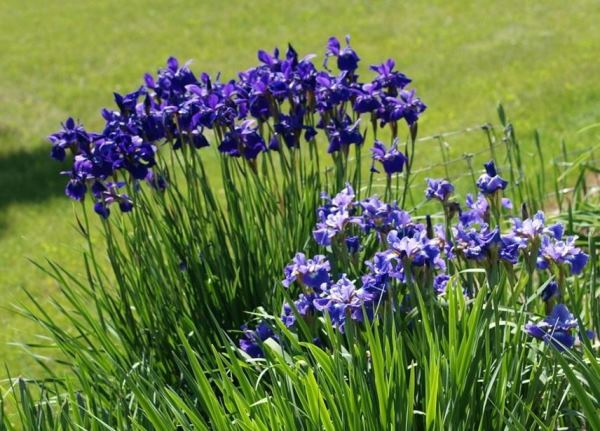 многолетние цветы для урала и сибири фото 8