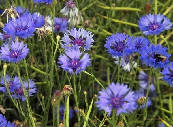 многолетние цветы для урала и сибири фото 9