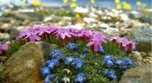 растения для альпийской горки фото и названия