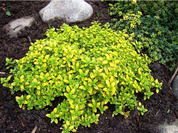 Растения для альпийской горки фото 17
