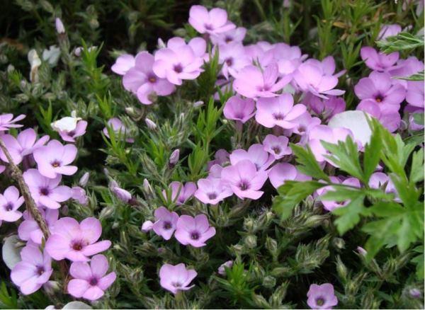 растения для альпийской горки фото 6
